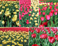 Set of backgrounds of many red and yellow tulips in a flowerbed Stock Images