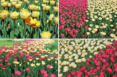 Set of backgrounds of many yellow and red tulips in a flowerbed Stock Images