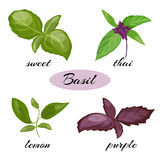 Set of basil leaves. Different types of basil. Set of basil leaves. Different types of basil: Genovese, Thai, lemon or holy , purple. Isolated on white Stock Photography
