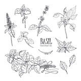 Set of basil plant. Contour hand drawn collection. Vector illustration. Set of basil plant. Contour hand drawn collection. Vector illustration royalty free illustration