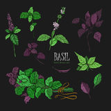 Set of basil plant, green and purple. Colorful hand drawn collection. Vector illustration on black background. Royalty Free Stock Images