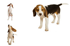 Set of beagle puppies Royalty Free Stock Images