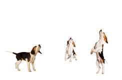 Set of beagle puppies Stock Photography