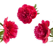 Set the beautiful bouquet of pink peonies Royalty Free Stock Photos