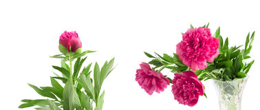 Set the beautiful bouquet of pink peonies on  white background Royalty Free Stock Photography