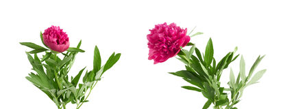 Set the beautiful bouquet of pink peonies on  white background Stock Photo