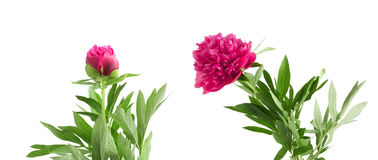 Set the beautiful bouquet of pink peonies on  white background Stock Photos