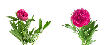 Set the beautiful bouquet of pink peonies on  white background Stock Images