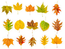 Set of beautiful colorful autumn leaves isolated on white Stock Image