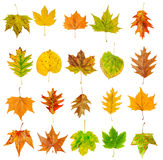 Set of beautiful colorful autumn leaves isolated on white Royalty Free Stock Image