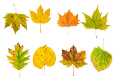 Set of beautiful colorful autumn leaves isolated on white Stock Images