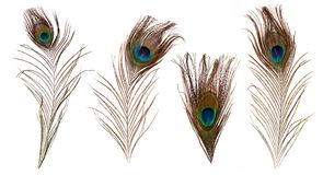 Set of beautiful and colorful peacock feathers royalty free stock photos