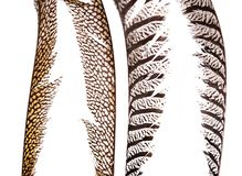 Set of beautiful and colorful pheasant feathers royalty free stock image