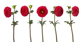 Set of beautiful dahlia flowers isolated on white background. A flower from different sides.  Stock Photo