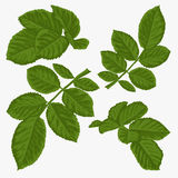 Set of beautiful green leaves isolated on white. Royalty Free Stock Images
