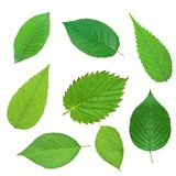 Set of beautiful green spring leaves isolated on white Royalty Free Stock Images