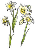 Set beautiful narcissus flowers on hand drawn background Royalty Free Stock Photos
