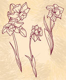 Set beautiful narcissus flowers on hand drawn background Stock Photography