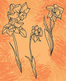Set beautiful narcissus flowers on hand drawn background Royalty Free Stock Photography