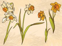 Set beautiful narcissus flowers on hand drawn background Royalty Free Stock Images