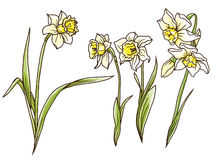 Set of beautiful narcissus flowers in hand drawn style Stock Photography