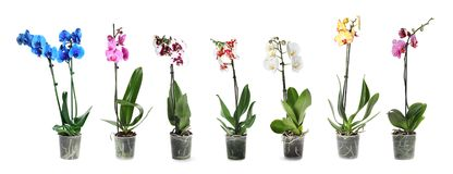 Set of beautiful orchid phalaenopsis flowers in pots stock photos