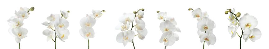 Set of beautiful orchid phalaenopsis flowers royalty free stock photography