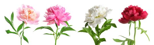 Set of beautiful peony flowers. On white background stock photo