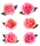 Set of beautiful pink roses. Royalty Free Stock Image