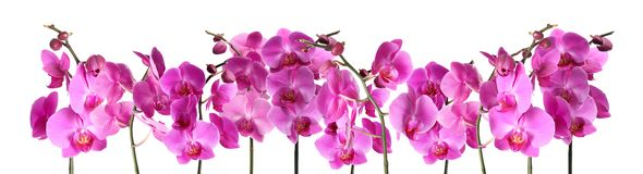 Set of beautiful purple orchid phalaenopsis flowers on white stock photo