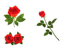 Set of beautiful red roses for design isolated on  background Stock Image