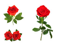 Set of beautiful red roses for design isolated on  background Stock Photography