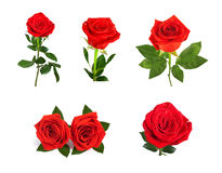 Set of beautiful red roses for design isolated on  background Stock Images