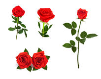 Set of beautiful red roses for design isolated on  background Royalty Free Stock Photo