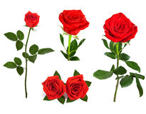 Set of beautiful red roses for design isolated on  background Stock Photos
