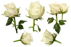 Set Beautiful roses isolated on white background Royalty Free Stock Photography
