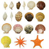 Set of beautiful shells of molluscs. Isolated on white background Royalty Free Stock Photos