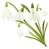Set beautiful snowdrop flowers Royalty Free Stock Photo