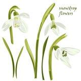 Set beautiful snowdrop flowers Stock Photography