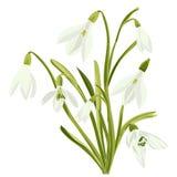 Set beautiful snowdrop flowers Royalty Free Stock Image