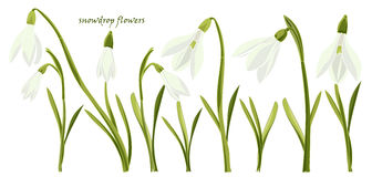 Set beautiful snowdrop flowers Royalty Free Stock Images