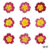 Set of beautiful vector flowers primrose. 9 elements for your de Stock Image
