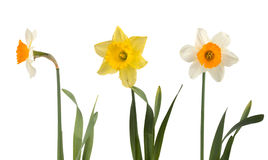 Set of beautiful white and yellow daffodils Stock Images