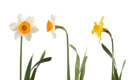 Set of beautiful white and yellow daffodils Royalty Free Stock Photos