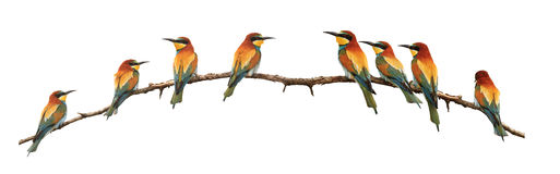 Set of bee-eaters sitting on a branch isolated on white royalty free stock photography