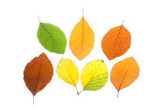 Set of beech leaves in different fall colors Royalty Free Stock Image