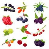 Set berries isolated on white background: currant, cherry, raspberries, rowan, gooseberry, dogrose, blackberry, goji. Set berries isolated on white background vector illustration