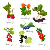 Set of berries with leaves botanical vector illustration. Royalty Free Stock Images