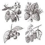 Set berries. raspberry, blueberry, strawberry, gooseberry. engraved hand drawn in old sketch, vintage style. Holiday. Decor elements. vegetarian fruit botany vector illustration