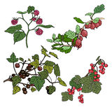 Set of berries. Red currant, black currunt, raspberry, gooseberry. Hand drawn vector illustration Stock Images